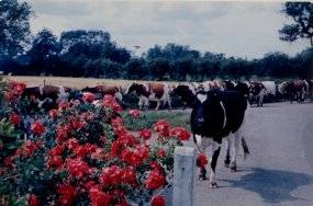 Cows outside the Walpole Arms in the early 60s