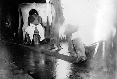 Milking parlour at White House Farm - 1942