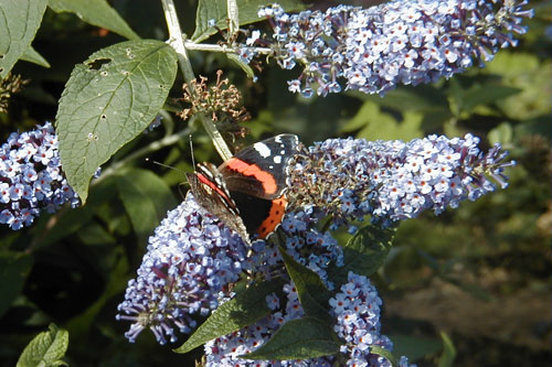 Red Admiral on a Buddlea 24th September 2000