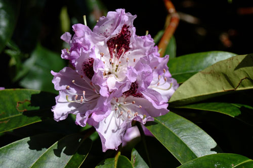 Blue Peter Rhododendron 19th May 2001